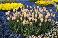 Europe, Germany, North Rhine Westphalia, View of tulip flower bed Stock Photos