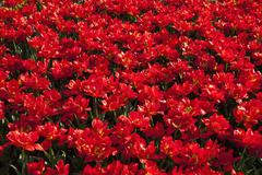 Europe, Germany, North Rhine Westphalia, View of red tulip flower bed Stock Photos