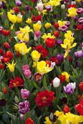 Europe, Germany, North Rhine Westphalia, View of multi coloured tulip flower bed Stock Photos