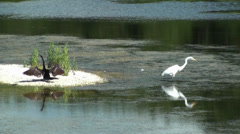 Anhinga and Egret with Egret flying off at end Stock Footage