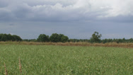 Stock Video Footage of buckwheat field  + pan thatched roof of a reconstructed iron age farm