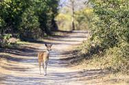Stock Photo of India, Uttarakhand, Axis deer at Jim Corbett National Park