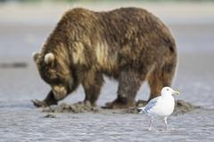 USA, Alaska, Glaucous-winged Gull and grizzly brown bear at Lake Clark National - stock photo