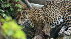 Jaguar and Cub Stock Footage