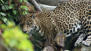 Stock Video Footage of Jaguar and Cub