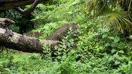 Stock Video Footage of Jaguar Cubs