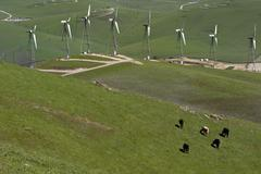 USA, California, Livermore, View of cattle grazing on Altamont Pass Wind Farm Stock Photos