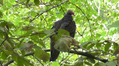 Turkey vulture sits on tree branch Stock Footage