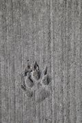 Germany, Berlin, Dog foot prints in concrete - stock photo