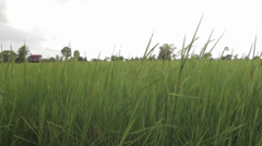 Rice Field in Cambodia Stock Footage