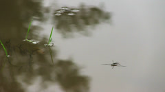 Pond skaters on a surface of water Stock Footage