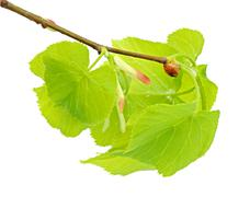 Linden branch with leaflets and bud Stock Photos