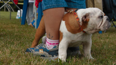 English Bulldog - stock footage