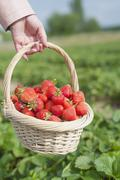 Stock Photo of Germany, Saxony, Mid adult woman holding straw basket with strawberries, close