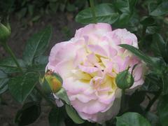 Pinky-yellow rose - stock photo