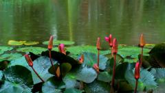 Flower on the lake the rain stops - stock footage