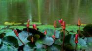 Stock Video Footage of Flower on the lake the rain stops