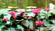 Stock Video Footage of Bloomed Flowers on the Water