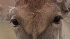 Eland's face and eyes Stock Footage