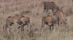 Young eland cleaning themselves Stock Footage