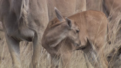 Young eland licking itself Stock Footage