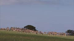 Herd of eland grazing on a mountainside Stock Footage