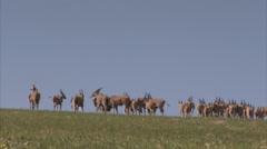 Herd of eland walking along a grassy plain Stock Footage