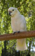 white parrot on perch - stock photo