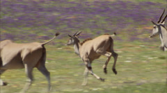 Herd of eland galloping over a grassy plain Stock Footage