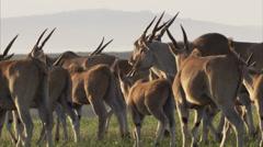 Herd of eland Stock Footage