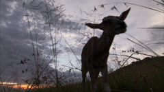 Young eland calf Stock Footage