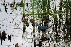 Bird flying in pond papyrus Stock Photos