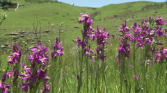 Purple flowers swaying in the wind Stock Footage