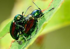Mating dogbane beetles Stock Photos