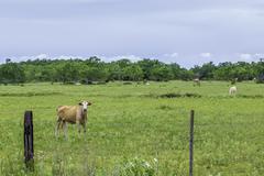 Cow stare Stock Photos