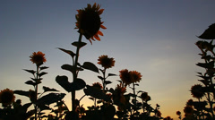 Beautiful sunflowers in bloom at sunset Stock Footage