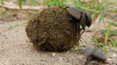 Dung beetle rolling dung Stock Footage