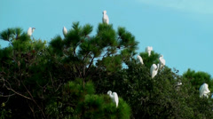 Egrets in the trees - stock footage