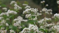 Fagopyrum esculentum, buckwheat field full screen Stock Footage