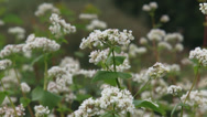 Fagopyrum esculentum, buckwheat field full screen Stock Footage