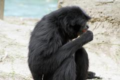 siamang at audubon zoo - stock photo