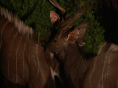 Stock Video Footage of Two male kudu at night