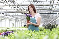 Germany, Bavaria, Munich, Mature woman in greenhouse with aster plants - stock photo