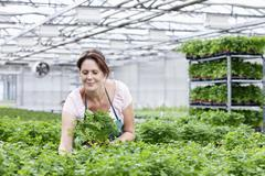 Germany, Bavaria, Munich, Mature woman in greenhouse between parsley plants - stock photo