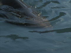 Seal swimming in the ocean - stock footage
