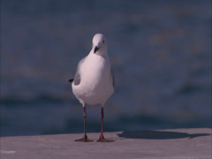 Sea gull sitting on a dock Stock Footage