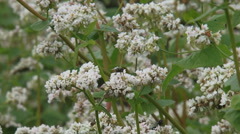 Fagopyrum esculentum, buckwheat field + insect - close up. Stock Footage