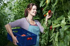 Germany, Bavaria, Munich, Mature woman harvesting tomatoes in greenhouse - stock photo