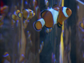 Stock Video Footage of Aquarium with clown fish