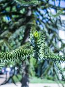 USA, Washington D.C. Araucaria tree Stock Photos